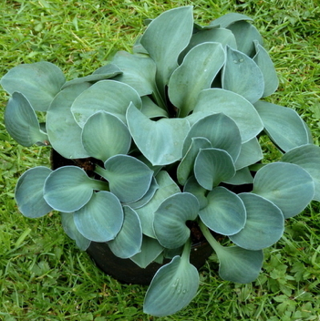 Collecting Mouse Hostas