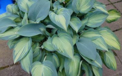 Reverting Hostas